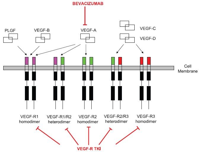 Figure 2 : Vascular endothelial growth factor receptor (VEGF-R). signaling. VEGF-R can form homo- or heterodimeric complexes that are capable of binding different activating ligands. VEGF-A is the dominant ligand involved in signaling through VEGF-R2 to mediate new blood vessel formation in tumors. The activation of this receptor can be inhibited by binding of the ligand by an anti-VEGF-A antibody (bevacizumab) or by a small molecule VEGF-R tyrosine kinase inhibitors (VEGF-R TKi).